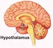 hypthalamus